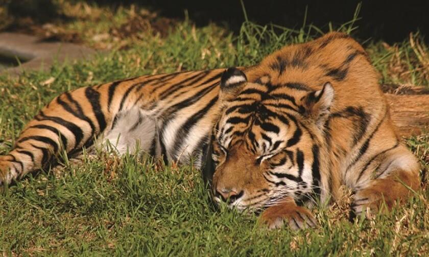 TigerSleeping