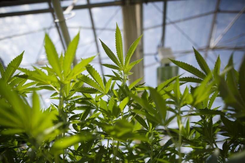Marijuana plants grow in a greenhouse.