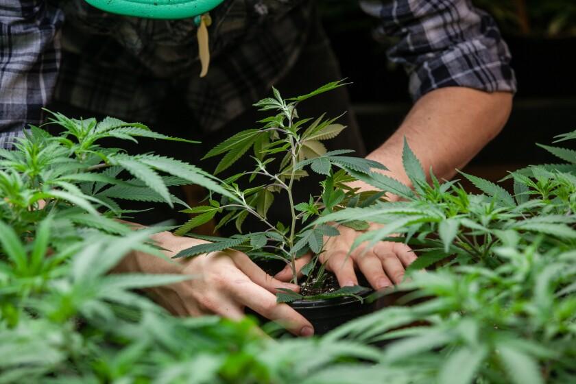 cannabisfarm