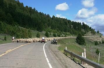 montana-dotsheep-herding.jpg