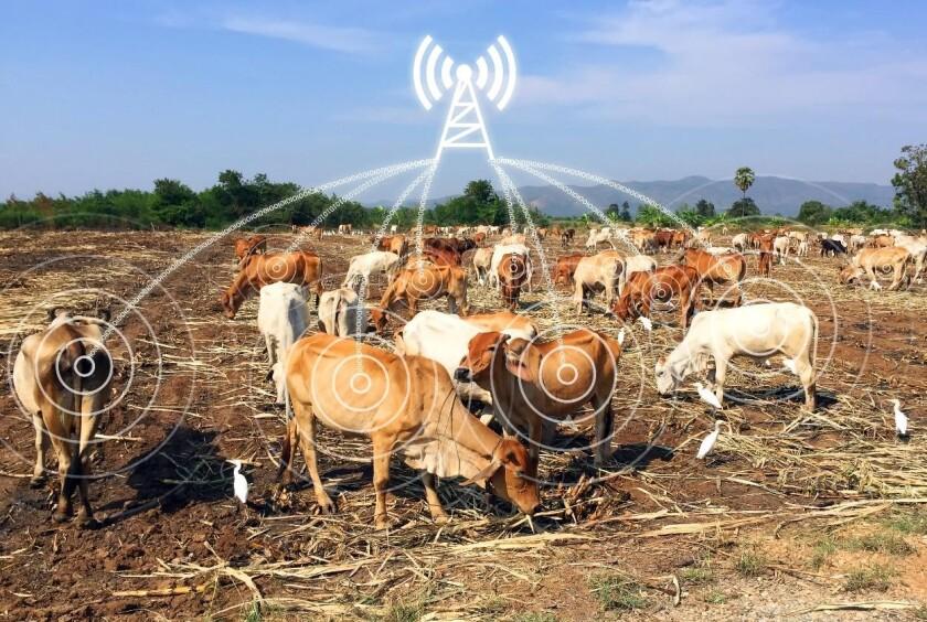 smart cows.jpg