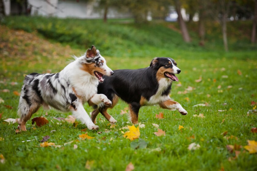 Australian shepherd dogs